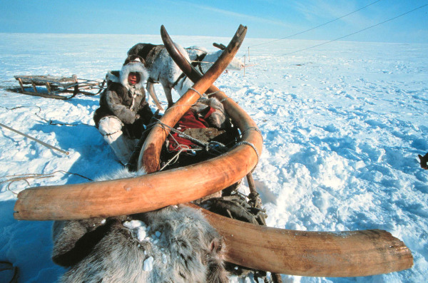 Mammoth Ivory Harvesting In The Frozen Siberian Landscape